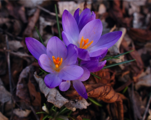 Crocus by Jesmond Dene