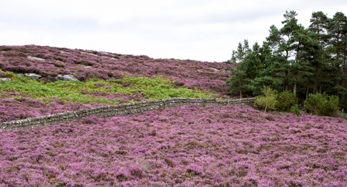Late August heather above Rothbury
