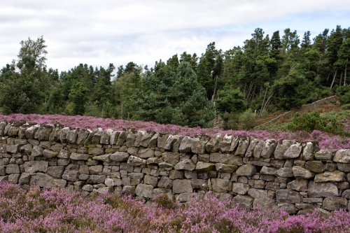 Drystone wall and late August heather above Rothbury
