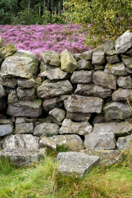 Drystone wall and late August heather above Rothbury - 2