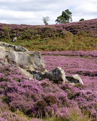 Heather and rocks